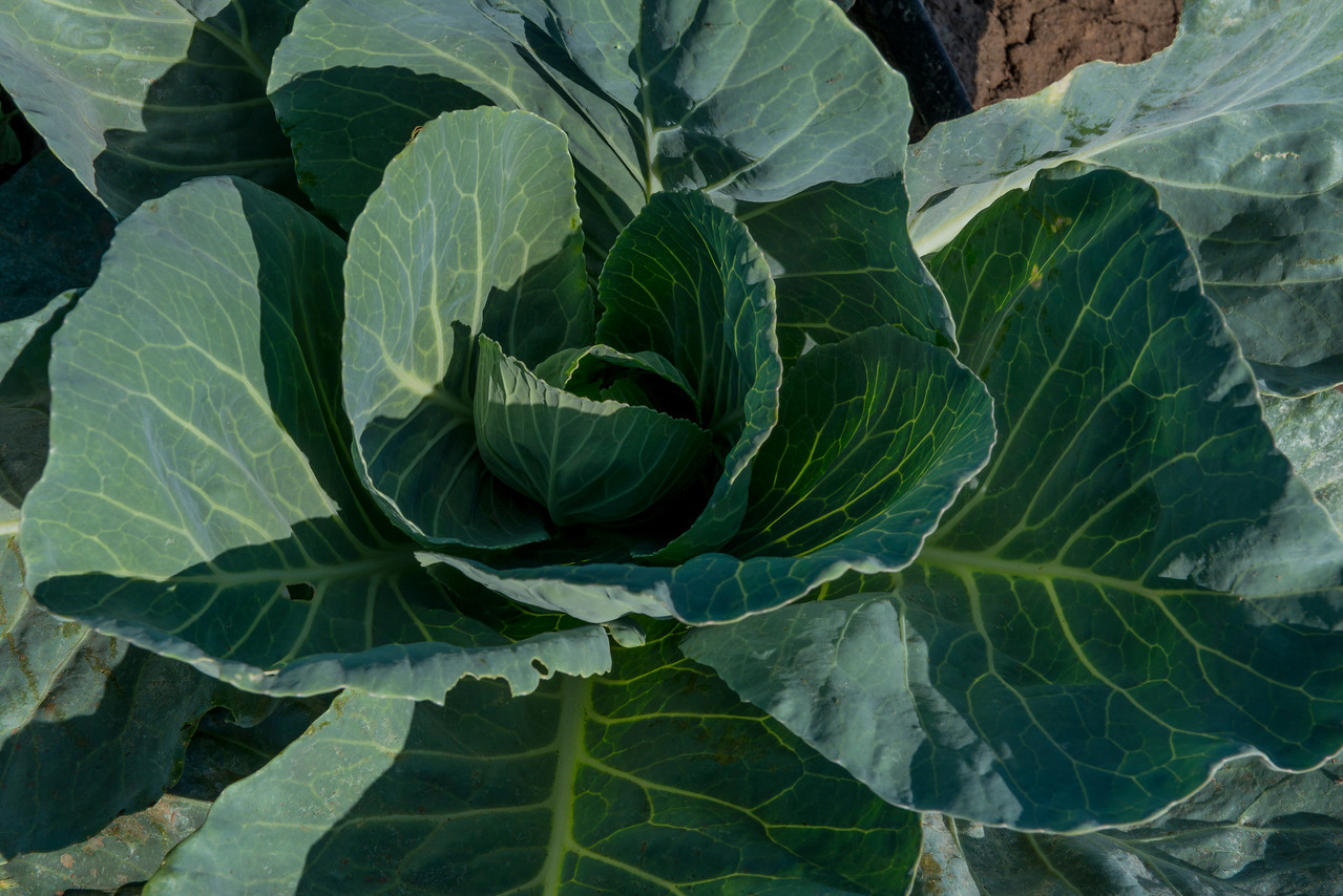 Green Head of cabbage in Austin, Texas