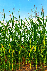Corn Field in Hutto, Texas