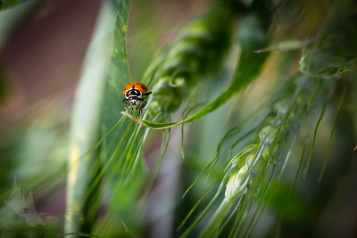 Lady Bug on Wheat