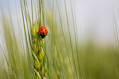 Lady Bug on Wheat 3
