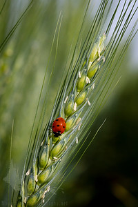 Lady Bug on Wheat 2
