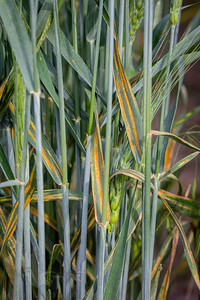 Wheat Rust