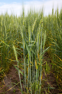 Rust damage to wheat fields near Wray, CO.  Notice the splotchy orange discoloration to the leaves.