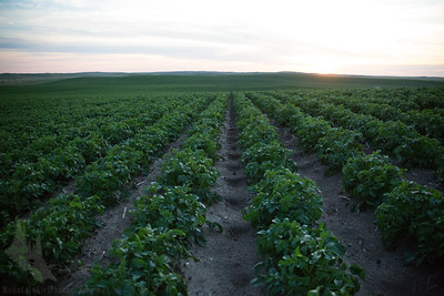 Row after row of potatoes grow near Wray, CO.