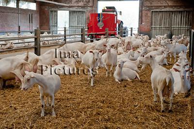 goatfarm,geitenboerderij,ferme de chèvres,Belgium,België,Belgique