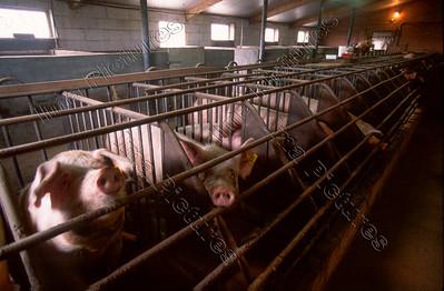 pig farm,varkenshouderij,ferme de cochons,Wingene,Belgium,België,Belgique
