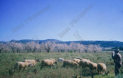 sheep,schapen,moutons,Spain,Spanje,Espagne