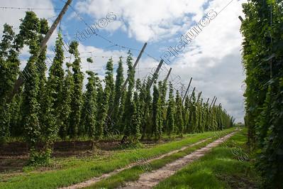humulus lupulus,hop,houblon,Proven,Poperinge,Belgium,België,Belgique