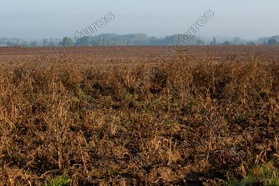 potatoes,aardappelen,pommes de terre,(Solanum tuberosum,Hakendover,Belgium,België,Belgique