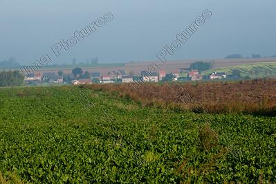 sugar beet,suikerbiet,Betterave sucrière,Beta vulgaris subsp. vulgaris var. altissima,Hakendover,Belgium,België,Belgique