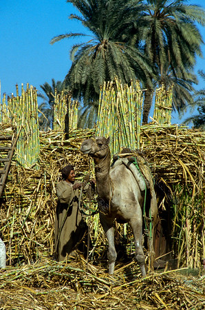 sugarcane,suikerriet,canne à sucre,saccharum afficinarum Egypt,Egypte