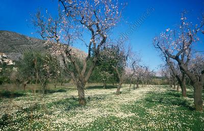 Almond platation,amandelplantages,plantation d'almande,Spain,Spanje,Espagne