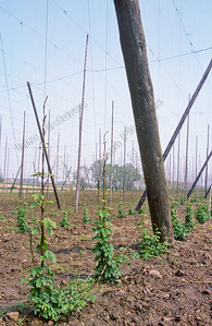 Poperinge,hop cultivation,hopteelt,cultivation de houblon