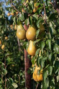 pears,peren,poires,Hakendover,Belgium,België,Belgique
