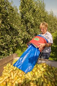 pear,peer,poire,plantation,plantage,Nieuwerkerken,Belgium,België,Belgique