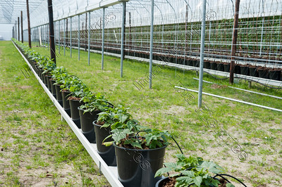 Welroy,Strawberry plantation,aardbeikwekerij,plantage de fraises,Wellen
