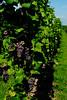 vineyard,wijngaard,vignoble,Bennwhir,France,Frankrijk