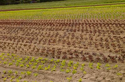 lettice cultivation,slateelt,culture de salade,Grimbergen,Belgium,België,Belgique