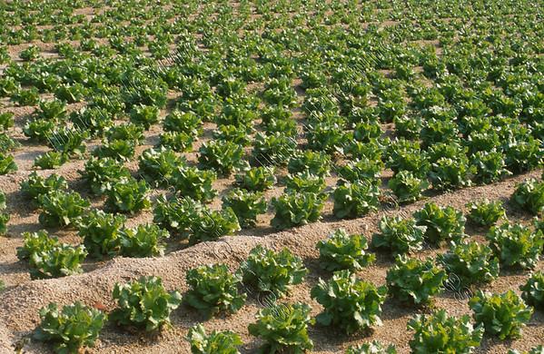 lettice sla salade