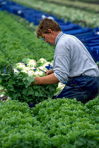lettice cultivation,slateelt,culture de salade,St. Katelijne Waver,Belgium,België,Belgique