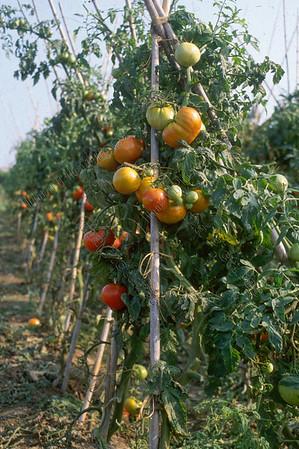 tomatos tomaten tomates