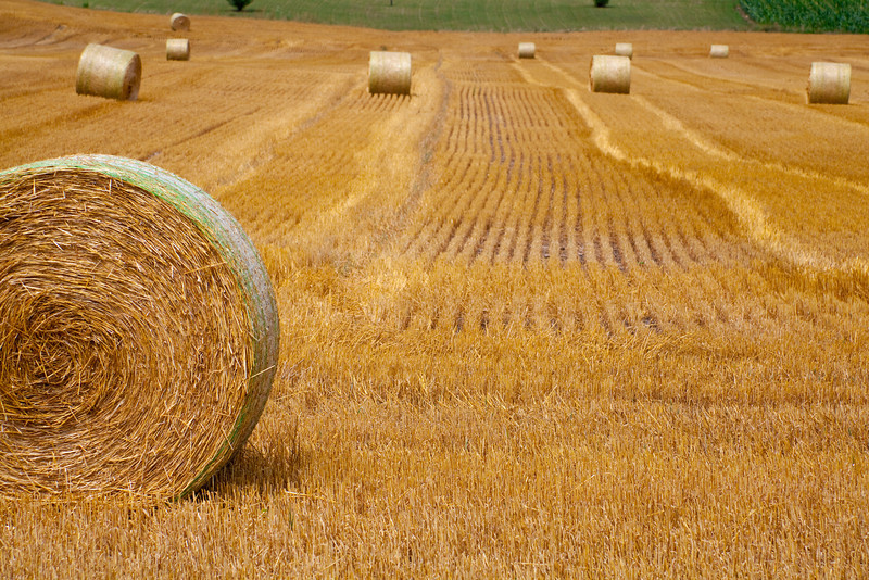 Rolling field of hay bales.