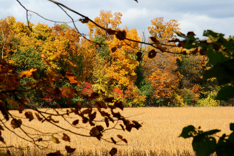 Golden wheat, autumn leaves. Michigan beauty at its height.