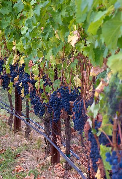 Grapes, Porter Family Vineyard, Napa, CA