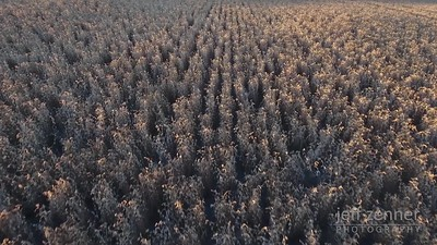 Field of Garbanzo Beans / Chickpeas - Video Footage