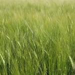 Field of Barley - Video Footage