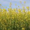 Field of Mustard - Video Footage