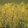 Field of Canola - Video Footage
