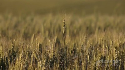 Field of Wheat - Video Footage