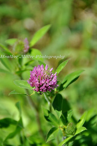Red Clover-0388