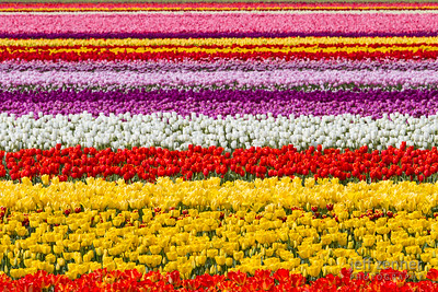 Layers of Tulips
