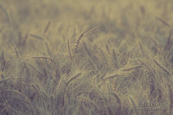 Field of Ripe and Ready to Harvest Wheat near Nezperce, Idaho.