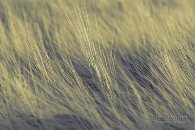 Field of Ripe and Ready to Harvest Barley near Nezperce, Idaho.