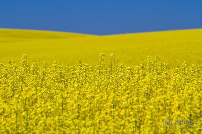 Bright Yellow Field of Canola Blooming in Nezperce, Idaho.