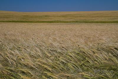 Field of Barley Near Nezperce, Idaho!
