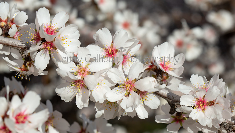 Almond Blooms 2-22-20-1880