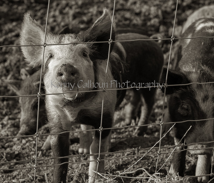 Pigs and Hogs 3-9-18--4