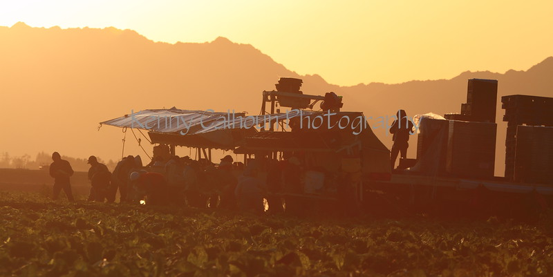 Lettuce Harvest at Sunrise in Yuma