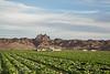 Head Lettuce 12-4 Dome-4142