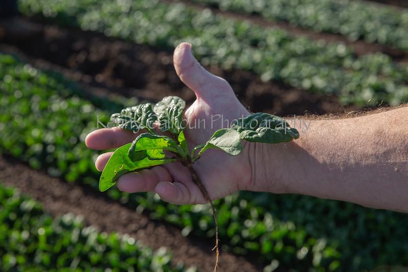 Yuma Spinach 11-4-4915-2