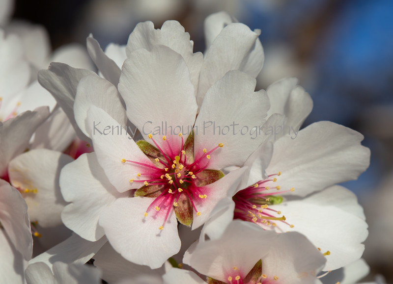 Almond Blooms 2-22-20-1520