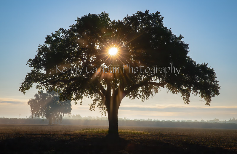 4-10 Yolo Oak Tree-2-2