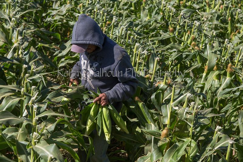 Sweet Corn Pappas Harvest_N5A8592