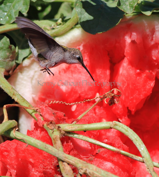 Hummingbird and Watermelon 1