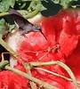 Hummingbird and Watermelon 1