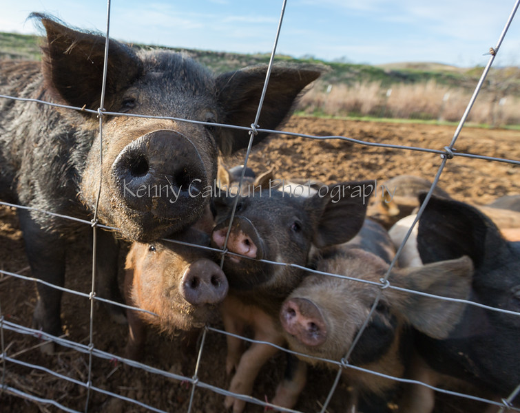 Pigs and Hogs 3-9-18-2820
